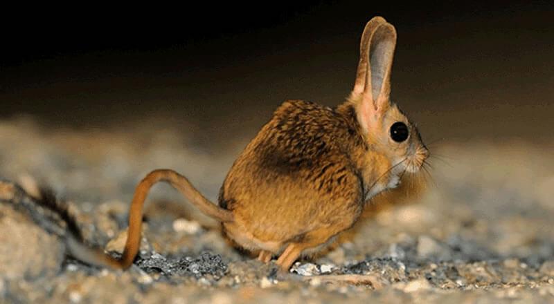 Arap Tavşanı