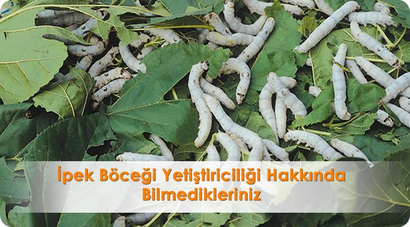 İpek Böceği Yetiştiriciliği Hakkında Bilmedikleriniz