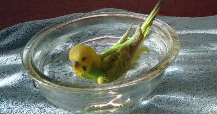 Muahbbet kuşu yıkanması