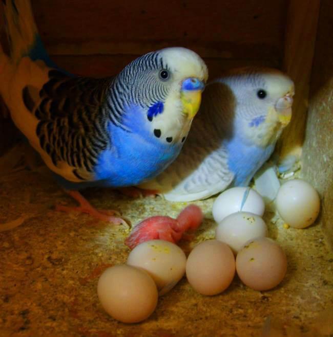 Muhabbet kuşu yumurtası
