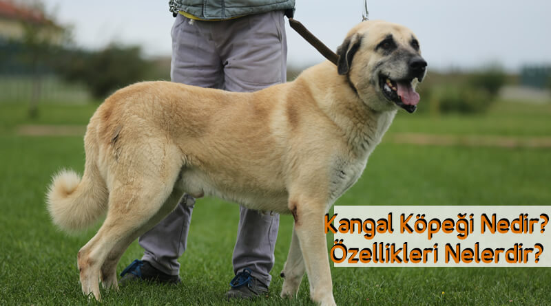 Kangal Köpeği Nedir? Özellikleri Nelerdir?